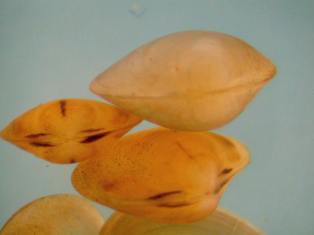 Photograph of small freshwater clams (light orange clams are Sphaeriidae and orange clams with dark marks are Cyrenidae)
